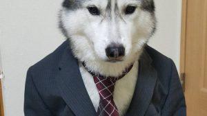 スーツを着た社会人シベリアンハスキーかっこいい